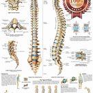 $11.95 AUD - Anatomical Spinal Column Diagram Chart Spine Anatomy Print - Premium Poster #ebay #Home & Garden