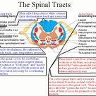 Spinal Tracts Poster