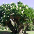 Yucca-Palme düngen: Wann, wie & womit? - Plantura