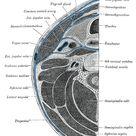Scalene muscles - Wikipedia