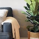 Featuring Fiddle Leaf Fig: The Instagram Trending Houseplant - Anna's | Garden, Home & Wellness