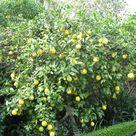 Lemon Tree Plants