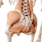 medizinisch genaue Anatomie Illustration - Hüftmuskulatur