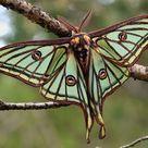 Spanish Moon Moth Graellsia isabellae