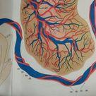 Japanese Vintage Female Anatomy Medical Chart Baby Fetus Model