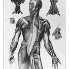 A1 Poster. Human Musculature