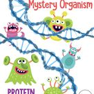 Protein Synthesis Determining the Traits of a Mystery Organism   Printable and Digital