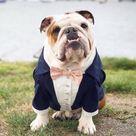 Custom made navy dog tuxedo with blush bow Dog wedding attire Formal dog suit Swallow tailed dog coat Birthday dog costume Custom dog tux