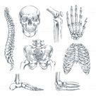 Human skeleton, bones and joints. Vector sketch isolated...