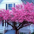 Redbud Trees