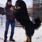 Mongolian Mastiff