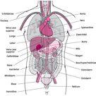 Gewebe und Organe - Grundlagen - MSD Manual Ausgabe für Patienten