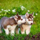 Red Husky Puppies