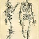 Vista Anterior e Lateral esqueleto humano