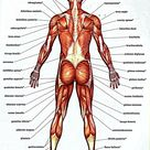 Muscle Chart Of The Human Body