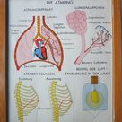 Vintage German school poster Rossignol respiratory system lungs breathing tuberculosis exchange anatomy medical double sided wall art retro