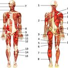 Free Anatomy Quiz - The Muscular System