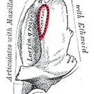 The Lacrimal Bone - Human Anatomy