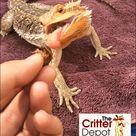 Pinhead Crickets: How To Raise Baby Crickets