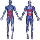 External Internal Oblique Muscles: Abdomen, Groin, Testicular Pain - The Wellness Digest