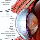 Anatomy Of The Human Eye .