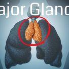 Major Glands Endocrine System