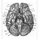 A1 Poster. Brain