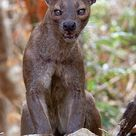 Fossa in the Wild by Giovanni Mari on 500px