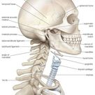 Human head and neck. 400 Piece Puzzle. The bony framework of the human head and neck.
