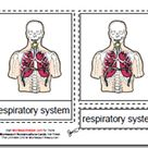 Montessori Materials Parts of the Human Respiratory System Age 3 to 6