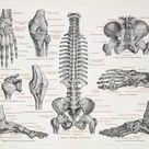 A1 Poster. The human skeleton engraving 1895