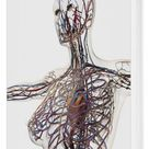 Box Canvas Print. Medical illustration of arteries, veins and