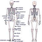 human skeleton chart diagram picture