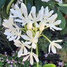 Cardwell Lily Bulb - Proiphys amboinensis - 6cm Bulb - Northern Christmas Lily