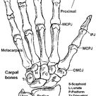 Learning the Bones of the forearm, wrist and hand.