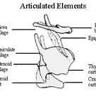 Articulated elements of the larynx