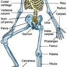 Axial skeleton. Cranium. Facial bones. Vertebral column. Thorax