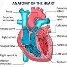Heart Human Anatomy