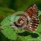 Heath Fritillary Butterfly, Melitaea Athalia Stock Image - Image of schmetterling, nature: 81497009