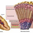 1000 Piece Puzzle. Anatomy of adrenal gland, cross section
