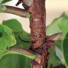 Three Ways to Encourage a Fiddle Leaf Fig to Branch: Pruning, Notching & Pinching