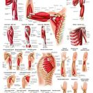 Muscles of the Arm Laminated Anatomy Chart