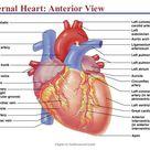 External Heart: Anterior View