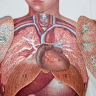 1900s overlay color litho MANIKIN from antique medical book   charts, abdomen, chest, organs, lungs,