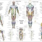 Human Muscle Anatomy Poster Anterior, Posterior and Deep Layers - 24