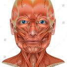 Face Neck Muscles Detailed Colorful Anatomy Stock Vector (Royalty Free) 1165677679
