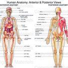 Human Anatomy Anterior & Posterior Views