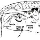 Horse Reproductive Organs Diagrams, Ask.com