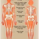 Differences between male and female skeletons, heads and muscles