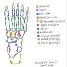 Anatomy   Tarsals & Foot   The Dani Jones Method